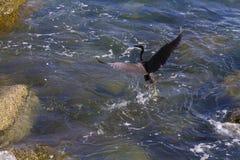 Stillahavs- revägretthäger, svart Stillahavs- revägretthäger som söker efter fisken på Fotografering för Bildbyråer