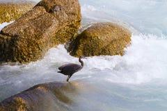 Stillahavs- revägretthäger, svart Stillahavs- revägretthäger som söker efter fisken på Arkivbilder