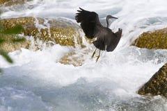 Stillahavs- revägretthäger, svart Stillahavs- revägretthäger som söker efter fisken på Royaltyfri Fotografi