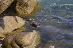 Stillahavs- revägretthäger, svart Stillahavs- revägretthäger som söker efter fisken på Royaltyfria Foton