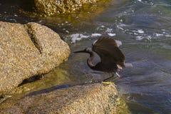 Stillahavs- revägretthäger, svart Stillahavs- revägretthäger som söker efter fisken på Royaltyfri Foto