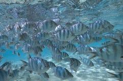 Stillahavs- söder tropisk skola för fisk Arkivbilder
