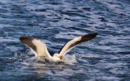 Stillahavs- Seagul i vatten Arkivfoto