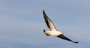 Stillahavs- Seagull i flykten Arkivfoton