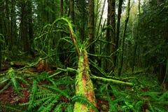 Stillahavs- skog northwest Arkivfoton