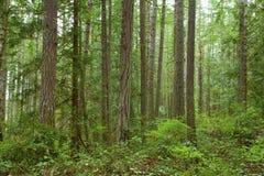 Stillahavs- skog northwest Arkivbild