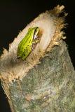 Stillahavs- trädgroda (Pseudacrisregillaen) Fotografering för Bildbyråer