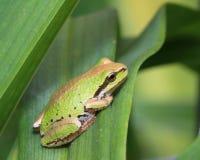 Stillahavs- treefrog Royaltyfri Foto