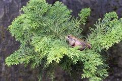 Stillahavs- Treegroda på Treefilial Royaltyfri Foto