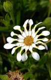 Stilleben härliga exotiska vita blommor Arkivfoton