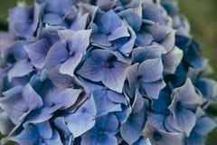 Stilleben med Hortensia Flowers royaltyfria foton
