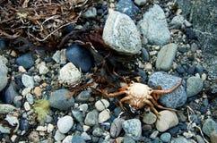Stilleben på kust med den döda krabban och havet rensar Royaltyfri Bild