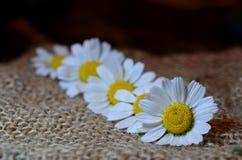 Stilleven met bloemenmadeliefjes Royalty-vrije Stock Afbeeldingen