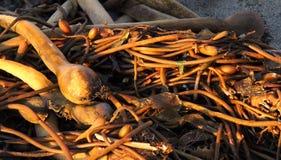 Stilleven met kelp Stock Foto
