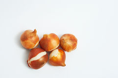De bollen ob wit van de tulp Stock Afbeelding