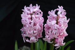 Stillife цветет гиацинт Стоковое фото RF