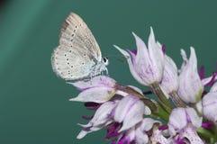 Stillleben mit Schmetterling und Orchis Purpurea Huds Lizenzfreie Stockfotos