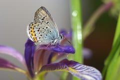 Stillleben mit Schmetterling und orris Stockbilder
