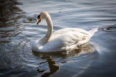Stillsam utomhus- djurlivplats av en vit svan som är all bara i vattnet royaltyfri fotografi