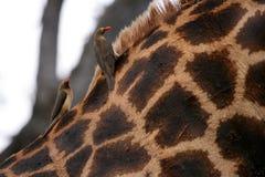 Stillstehen auf der Rückseite einer Giraffe Lizenzfreies Stockfoto
