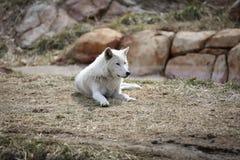 Stillstehen des weißen Wolfs Stockbilder