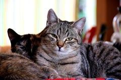 Stillstehen mit zwei Katzen lizenzfreie stockfotografie