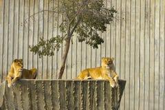 Stillstehen mit zwei Löwinnen Lizenzfreie Stockfotos