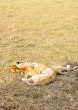 Stillstehen mit zwei Löwinnen Stockfoto