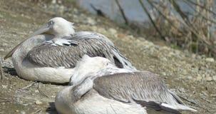Stillstehen mit zwei Pelikanen stock video
