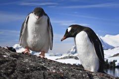 Stillstehen mit zwei Pinguinen Lizenzfreie Stockfotos