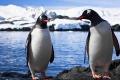 Stillstehen mit zwei Pinguinen Stockfotografie