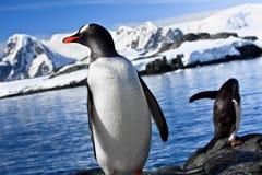 Stillstehen mit zwei Pinguinen Stockbild