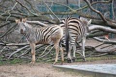 Stillstehen mit zwei Zebras lizenzfreie stockfotografie