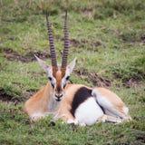 Stillstehende Gazelle Lizenzfreie Stockfotos
