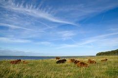Stillstehende Kühe Stockfoto