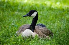Stillstehende kanadische Gans im Gras stockbild