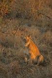Stillstehende Löwen Stockbilder