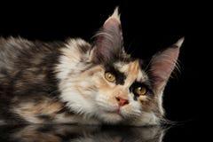 Stillstehende Maine Coon Cat Lying mit netten Blicken, lokalisiertes Schwarzes Lizenzfreie Stockfotografie