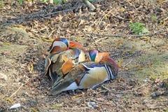 Stillstehende Mandarinen-Ente Stockfotografie