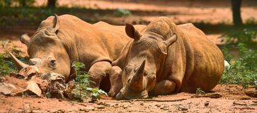 Stillstehende Rhinos Stockbild