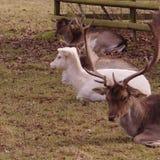 Stillstehende Schafe und Rotwild Stockfoto