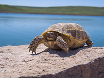 Stillstehende Schildkröte Lizenzfreies Stockbild