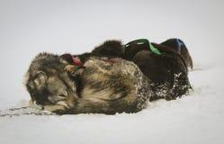 Stillstehende Schlittenhunde Stockfotos