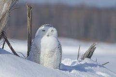 Stillstehende Schneeeule Stockfotos