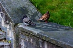 Stillstehende Tauben auf der Wand der Treppe lizenzfreies stockfoto