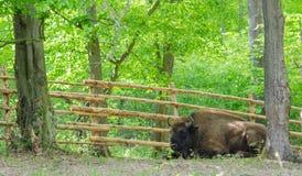 Stillstehender Bison Lizenzfreie Stockfotografie