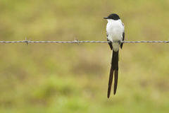 Stillstehender Gabel-angebundener Flycatcher Lizenzfreies Stockbild