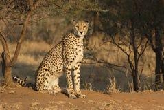 Stillstehender Gepard Lizenzfreie Stockbilder