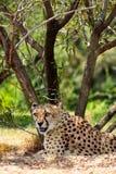 Stillstehender Gepard Stockfotografie