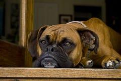 Stillstehender Hund Lizenzfreies Stockbild